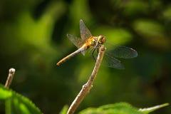 Pospolity Wężowy Sympetrum striolatum przód Zdjęcie Royalty Free