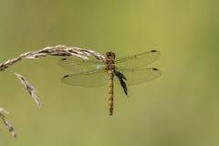 Pospolity wężowy & x28; Sympetrum striolatum& x29; na trawie, dorsalny widok Obrazy Stock