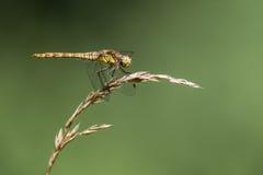 Pospolity wężowy & x28; Sympetrum striolatum& x29; profil na trawie Fotografia Royalty Free