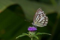 Pospolity wędrowa motyl Obraz Royalty Free