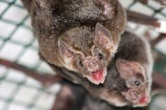 Pospolity wampira nietoperz Fotografia Stock
