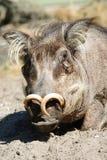 pospolity warthog Zdjęcia Royalty Free