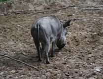 Pospolity warthog, Phacochoerus africanus Fotografia Royalty Free