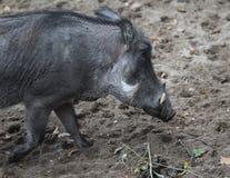 Pospolity warthog, Phacochoerus africanus Obraz Stock