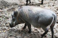 Pospolity warthog, Phacochoerus africanus Zdjęcie Stock