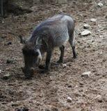 Pospolity warthog, Phacochoerus africanus Zdjęcie Royalty Free