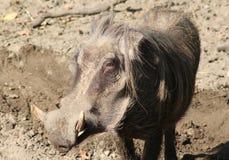 Pospolity warthog, Phacochoerus africanus Zdjęcia Stock