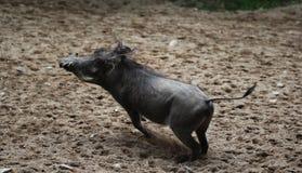 Pospolity warthog, Phacochoerus africanus Obrazy Stock
