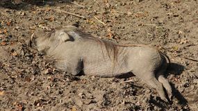 Pospolity warthog, Phacochoerus africanus Obraz Royalty Free