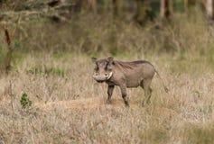 Pospolity Warthog - Phacochoerus africanus Zdjęcie Royalty Free