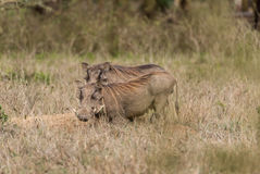 Pospolity Warthog - Phacochoerus africanus Zdjęcie Stock