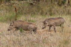 Pospolity Warthog - Phacochoerus africanus Obraz Stock