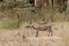 Pospolity Warthog - Phacochoerus africanus Fotografia Stock