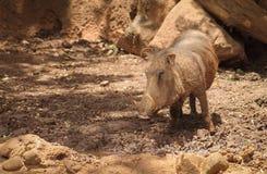 Pospolity Warthog Phacochoerus africanus Zdjęcia Stock