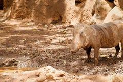 Pospolity Warthog Phacochoerus africanus Zdjęcia Royalty Free