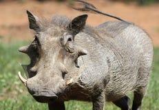 Pospolity Warthog, Phacochoerus africanus przy Marakele obywatela normą, Fotografia Stock