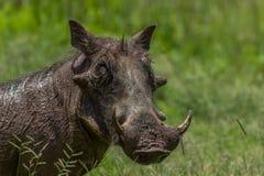Pospolity warthog & x28; Phacochoerus africanus& x29; Fotografia Stock