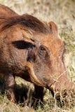 Pospolity warthog z jego głową w trawie Fotografia Royalty Free
