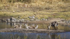 Pospolity Waterbuck w Kruger parku narodowym, Południowa Afryka Zdjęcie Stock