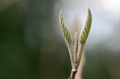 Pospolity whitebeam (Sorbus aria agg ) przychodzić w liść Obraz Stock