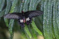 Pospolity wiatraczka motyl Obrazy Stock