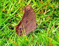 Pospolity wieczór brązu motyl Obraz Stock