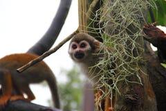 Pospolity Wiewiórczej małpy zerkanie z swój kryjówki zdjęcie royalty free