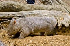 pospolity wombat Zdjęcia Stock