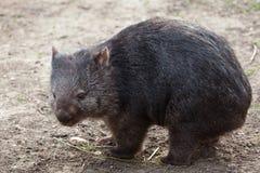 Pospolity wombat (Vombatus ursinus) Obrazy Royalty Free