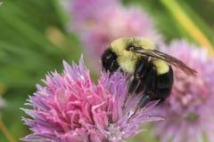 Pospolity Wschodni Mamrocze pszczoły bada możliwości w szczypiorku okwitnięciu fotografia royalty free