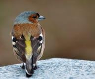 Pospolity zięba ptak na kamieniu zdjęcie royalty free