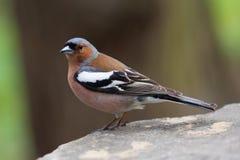 Pospolity zięba ptak na kamieniu Fringilla coelebs, samiec miękkie ogniska, Zdjęcie Stock