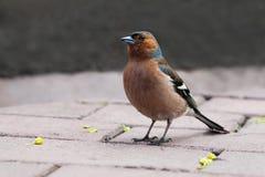 Pospolity zięba ptak na kamiennych płytkach Fringilla coelebs, samiec Miękka ostrość, Płytka głębia pole Zdjęcia Royalty Free