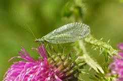 Pospolity zielony lacewing Zdjęcie Royalty Free