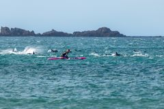 Pospolitych delfinów sztuka Z Paddle internem Fotografia Stock
