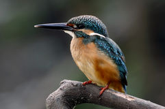 Pospolitych zimorodka Alcedo atthis Męscy ptaki Tajlandia zdjęcia royalty free