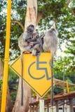 Posrebrzona liść małpa Fotografia Royalty Free
