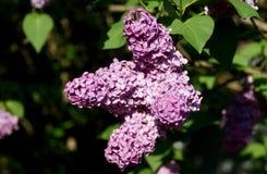 possa Lillà di fioritura Varietà di sorprese di varietà con le tonalità Immagini Stock