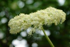 possa Uma nuvem branca de uma inflorescência perfumada da baga de sabugueiro imagens de stock