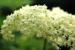 possa Uma nuvem branca de uma inflorescência perfumada da baga de sabugueiro fotos de stock royalty free