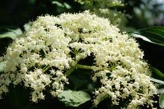 possa Una nuvola bianca di un'inflorescenza fragrante della bacca di sambuco Fotografia Stock