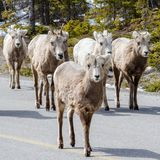 Posse των προβάτων bighorn στο δρόμο στοκ εικόνες
