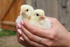 Posse das mãos que importa-se com galinhas pequenas Fotos de Stock