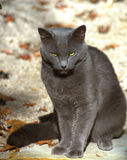 Possessed Halloween Cat. Gray cat waiting for darkness, spooky green eyes Stock Photo