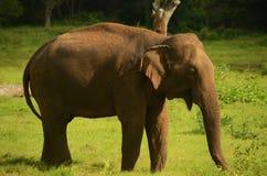Possibilità remota di un elefante Immagine Stock