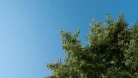 Possibilité éloignée de couronne fleurissante d'arbre de tilleul Ciel bleu sur le fond Les bourdons pollinisent un arbre clips vidéos