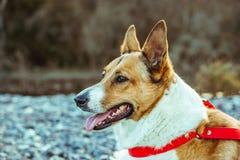 possing在公园的俏丽的狗 免版税图库摄影