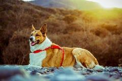 possing在公园的俏丽的狗 免版税库存照片