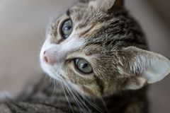 Possing年轻人小猫 免版税库存照片