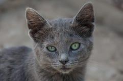 possing灰色的猫 免版税库存图片